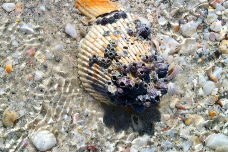 barnacles on shells